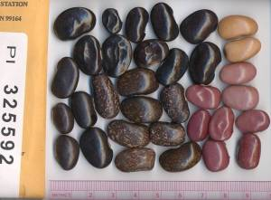 Scarlet runner beans in many colors - dark brown, light brown, red, dark pink, yellow, speckled white and brown - appear against a white background with a ruler and label visible on either side