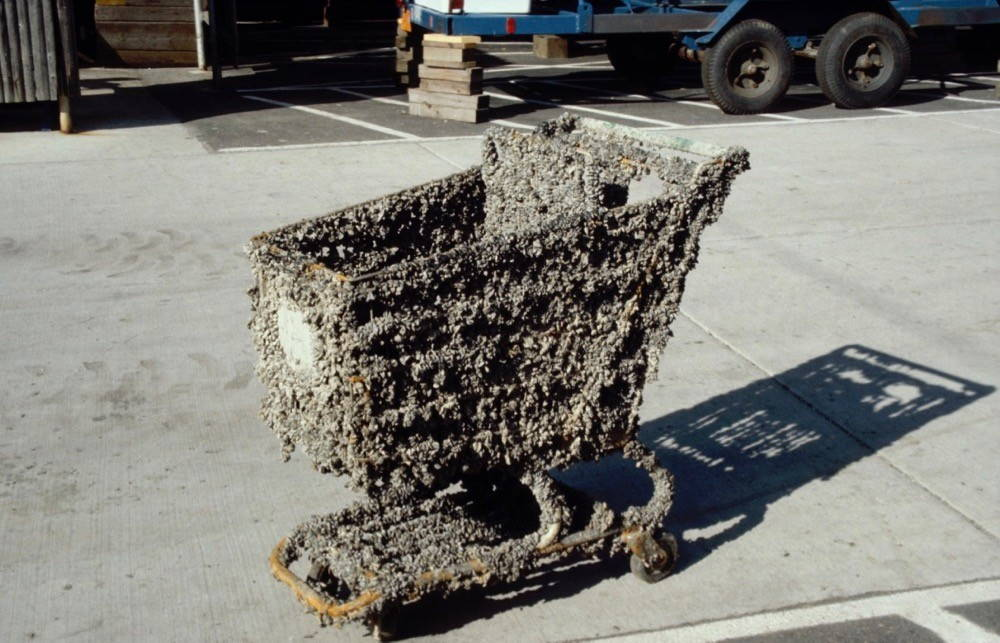 An otherwise ordinary shopping cart in a parking lot on a sunny day is completely encrusted with mussels, covering almost every inch of the metal of the shopping cart and turning the cart in an aquatic objet d'art