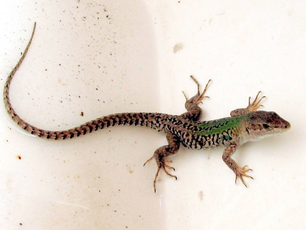 Brown and black speckled lizard climbs on a white concrete wall