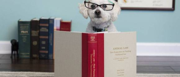 A little white dog wearing glasses peeks out from above an open copy of an animal law legal casebook, with five books held up by bookends and a framed diploma in the background.
