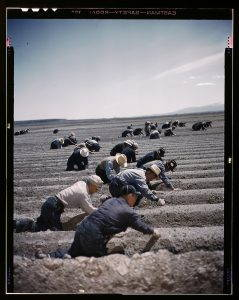 Japanese American laborers plant fields in Tule Lake Relocation Center in Newell, California.