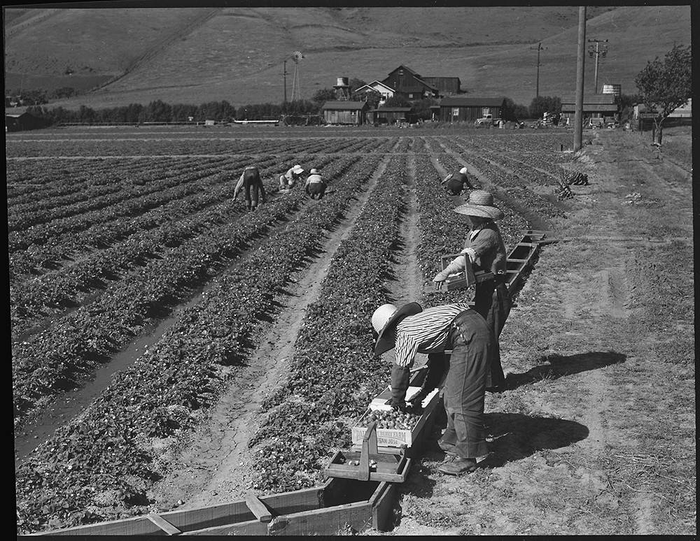 Family harvests strawberry fields with evacuation due in a few days, near Mission San Jose, California.