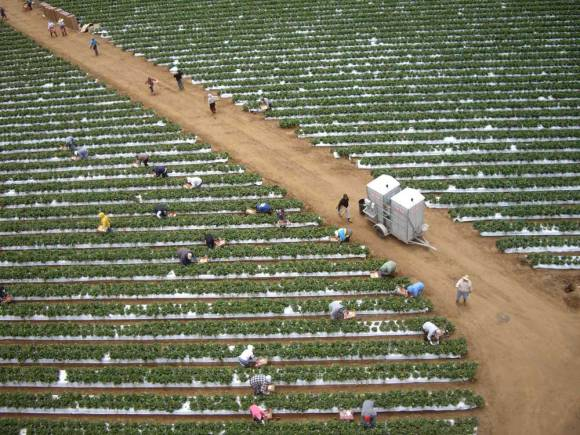 An aeriel view of strawberry fields, with workers bent over in planted rows picking berries.
