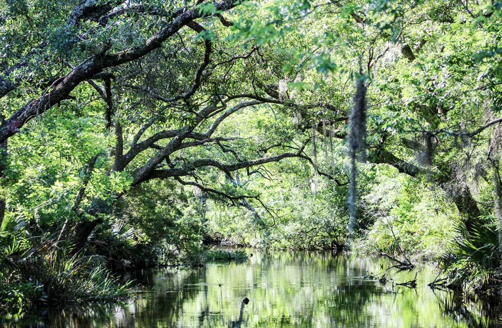 Louisiana swamp with trees bending over water