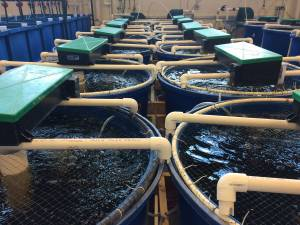 Row of aquaculture fish tanks