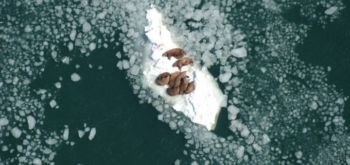 An island of sea ice with several walruses floating on it photographed from above