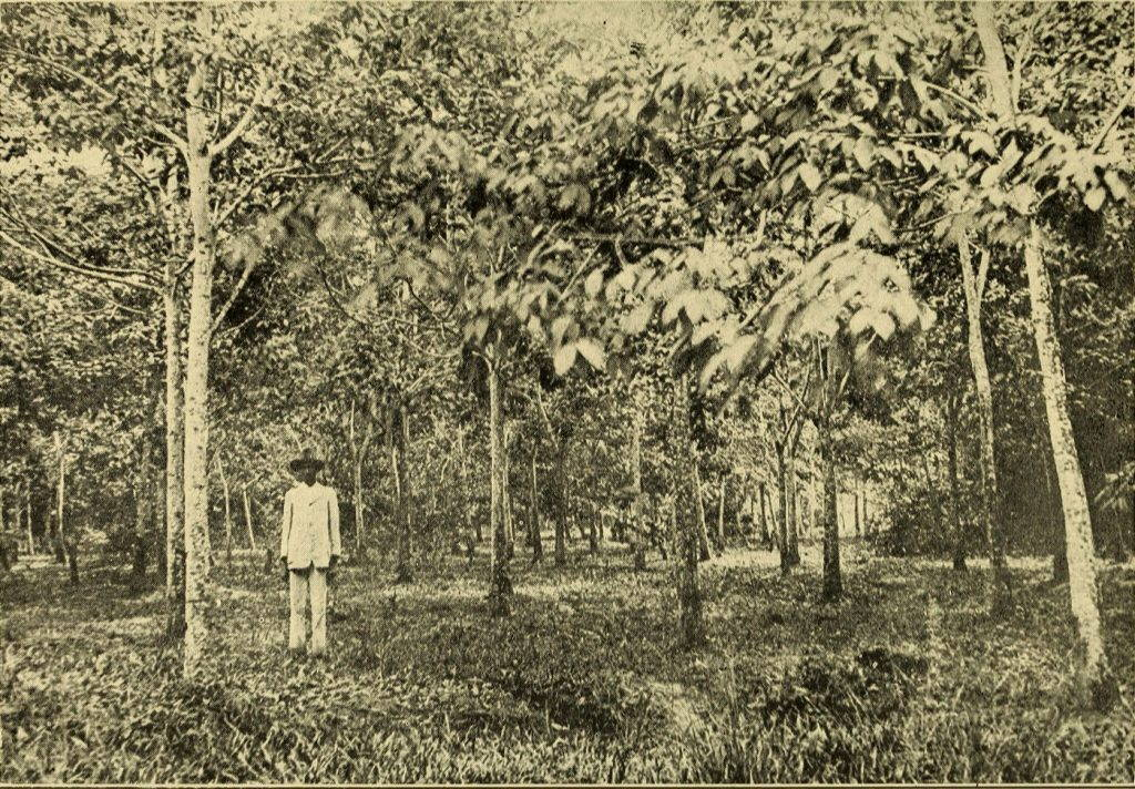 A person stands in a plantation in Guyana