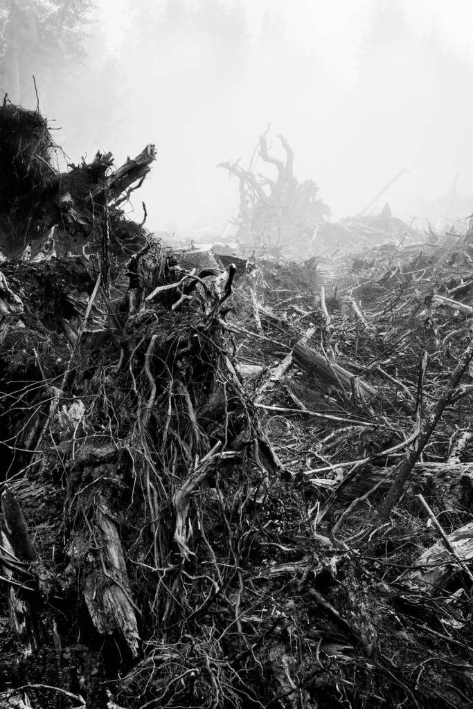A black and white photograph of exposed roots and stumps of trees.