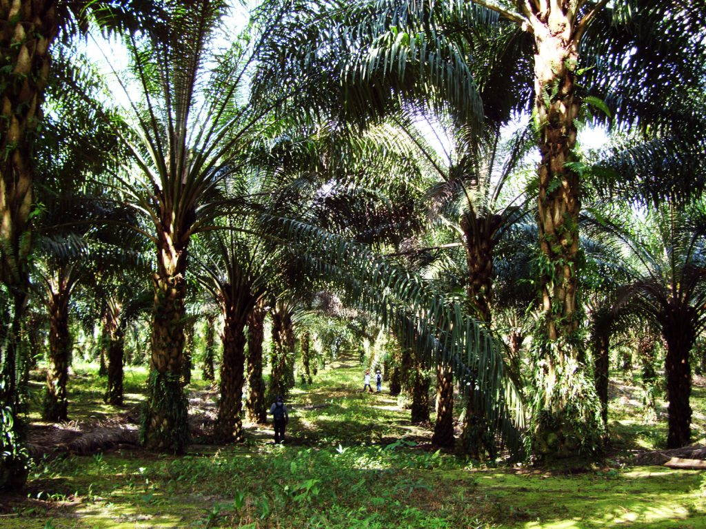 Rows of grown oil palm trees