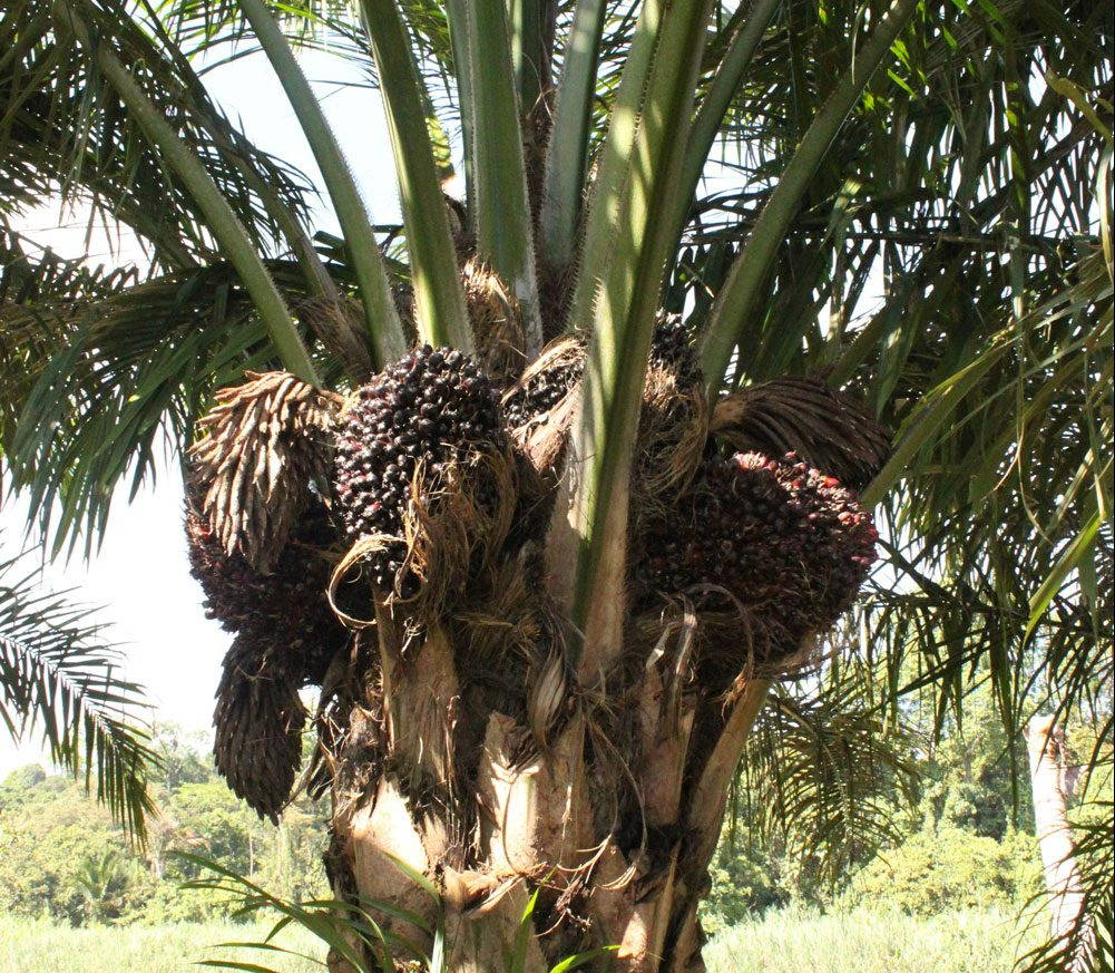 Oil palm fruit at top of tree