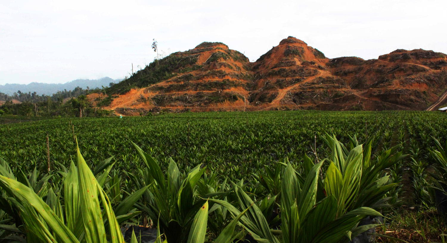 An oil palm plantation in Malaysia