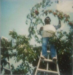 Photograph of a man standing on a ladder picking fruit.
