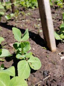 Pea plants in a quaratine garden