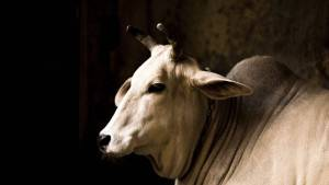 Soft lit cow in a dark room