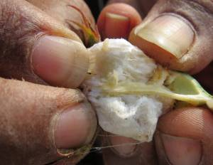 Fingers pull open ball of cotton
