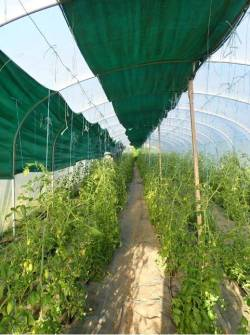 Rows of tomato plants in a greenhouse covered with green tarp
