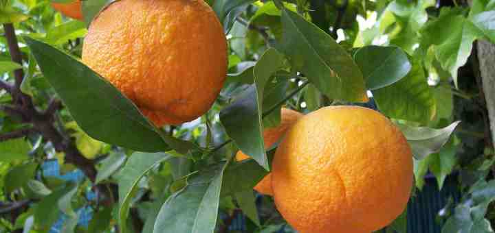 close-up of bitter oranges on a tree