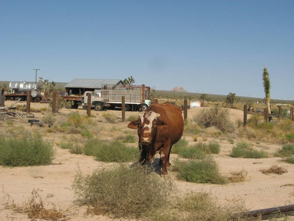 A cattle on the desert landscape stares toward the camera