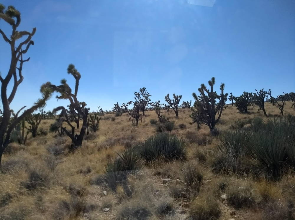 East Mojave landscape has some Joshua trees but is covered in grasses