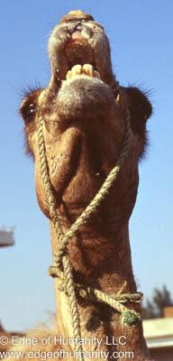 Camel - Birqash Camel Market - Egypt.
