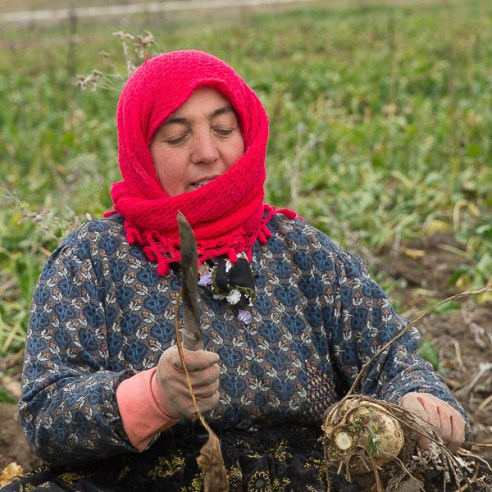 Woman harvesting beets - Turkey