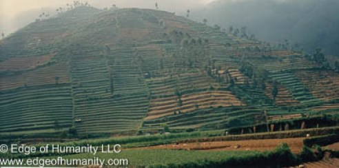 Indonesia's rice fields.
