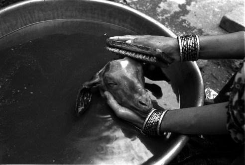 Woman is cleaning goats head  Jodhpur, Rajasthan, India