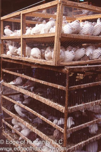 Transporting pigeons and chickens in Syria.
