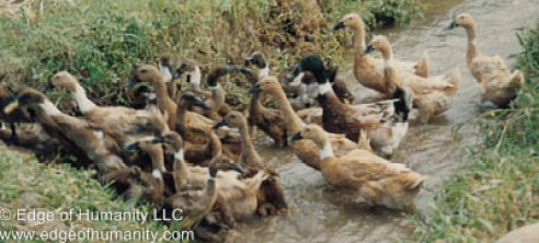 Raising ducks and chickens in Indonesia.