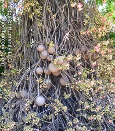 Cannonball tree - Couroupita guianensis