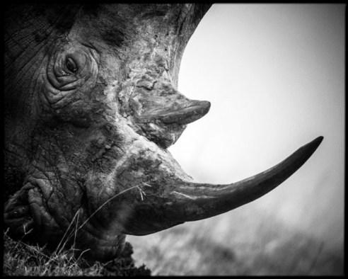 White rhinoceros - South Africa