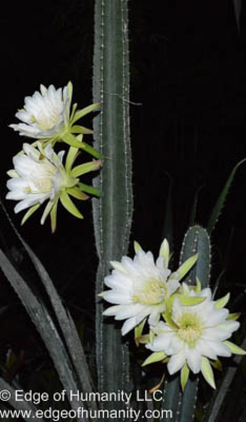 Cactus flowers<br /> In bloom<br /> Monday 3:00AM