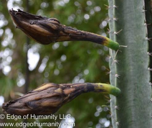 Dead cactus flowers Thursday 8:00AM