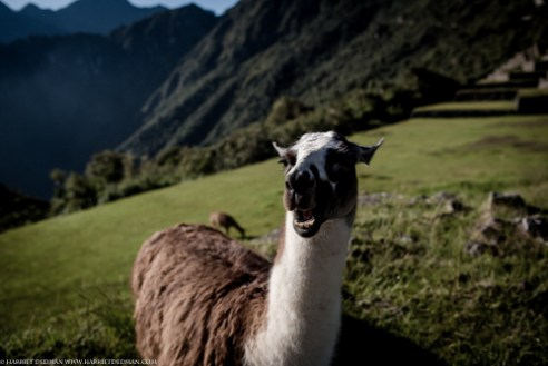 The Llamas of Machu Picchu, standing guard for centuries