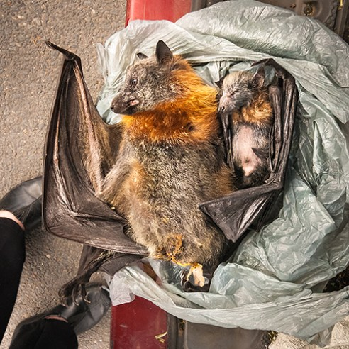 Grey Casualty: A family of Grey Headed Flying-foxes found dead in a car park. In a disturbing display of compassion, the mother grips her baby even during death. In 2008, A study conducted on the effectiveness of bullets as a method to cull bats found that over 92% of the flying mammals would instead be shot through the wing. Rendered unable to fly, a slow death ill inevitably ensue.