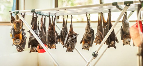 """Washing Line: 4 unique species of Injured Flying-foxes, 2 of which are threatened, hang alongside one another like tattered clothes along a single washing line. With a plethora of ailments like missing eyes, severed limbs and bullet-torn wings, these bats will recover in the safety of ABC for multiple weeks until they are able to be released back into the wild. """"A lucky bat will be rescued. An even luckier one may fly again."""""""
