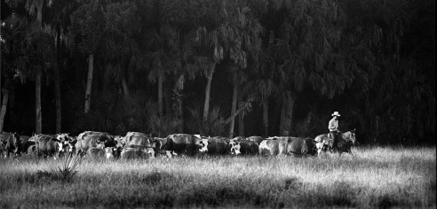 Follow Me Florida Cracker, leading a herd to another pasture.