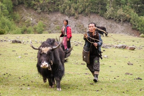 Yak are tethered at night near the campsite to protect them from attack by predators and to have the cows ready for milking in the morning.