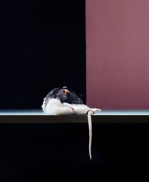 Narcissus pseudonarcissus : (Narcissus) The myth of Narcisse that everyone knows. The rat is watching himself.