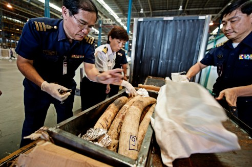 Customs officials in Bangkok's Suvarnabhumi airport uncover a shipment of African elephant tusks from Mozambique. Suvarnabhumi has always been a hub for illicit trafficking, mostly in narcotics, but the recent explosion of demand for animal products has added elephant tusks to the list of contraband. Bangkok, Thailand.