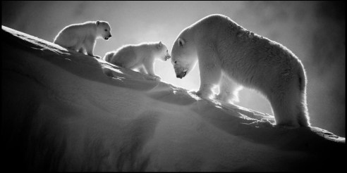 Polar bear with cubs Baffin Island, Canada