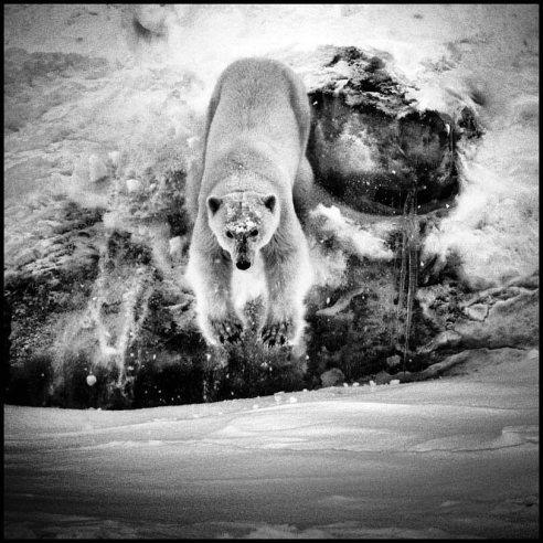 Polar bear is coming Svalbard