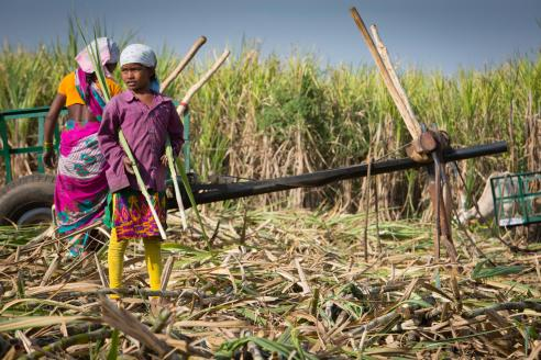 MIgrant Sugarcane