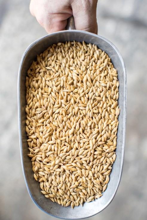 Durham, North Carolina - Monday July 11, 2016 - Malted barley from Epiphany Craft Malt in Durham, NC.