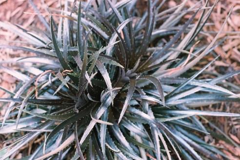Bromeliad Dyckia