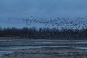 Cranes take flight in the morning.