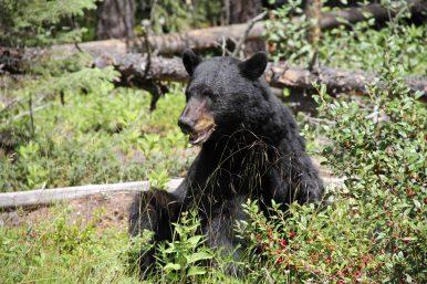 bear1