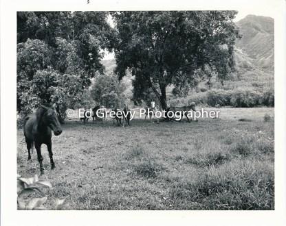 He`eia Meadowland pasture. C1988