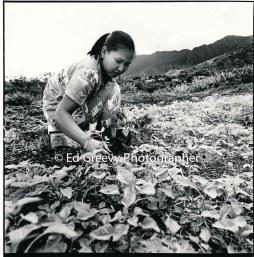 waikane-farming-2617-6-2-12-16-72