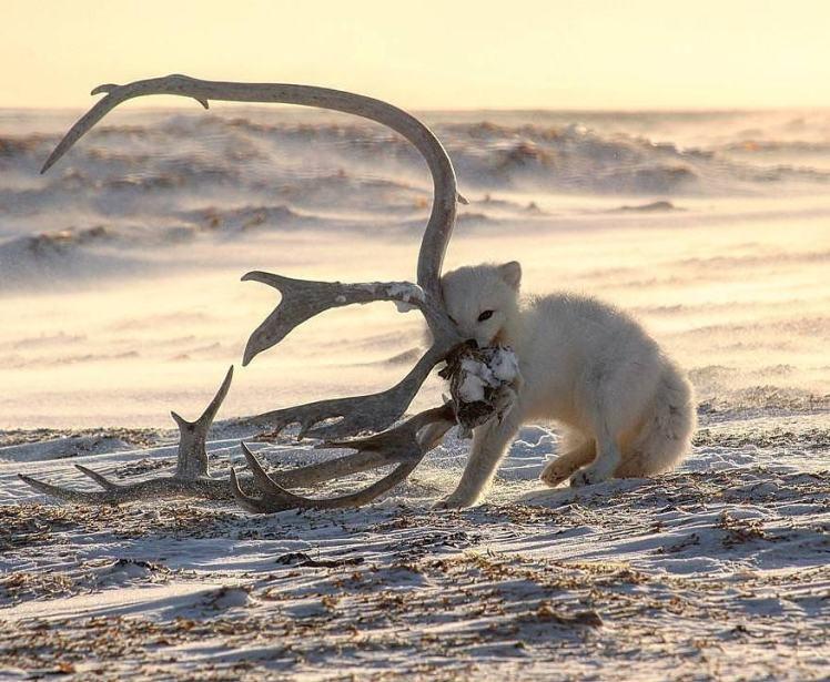Polar Bear Migration